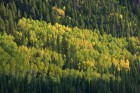 Aspens & Evergreens near Chama, NM