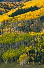 Many Colors of Aspens, Chama