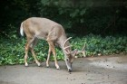 Buck in My Backyard