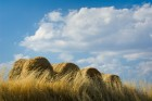Tuscan Wheat Field