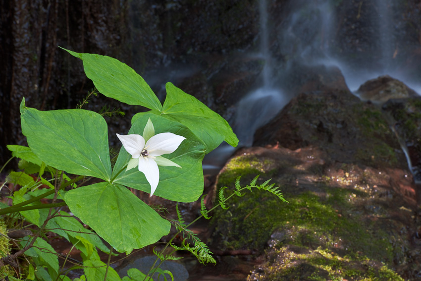 Trillium and cascade along Tremont Road in the Smokies.
