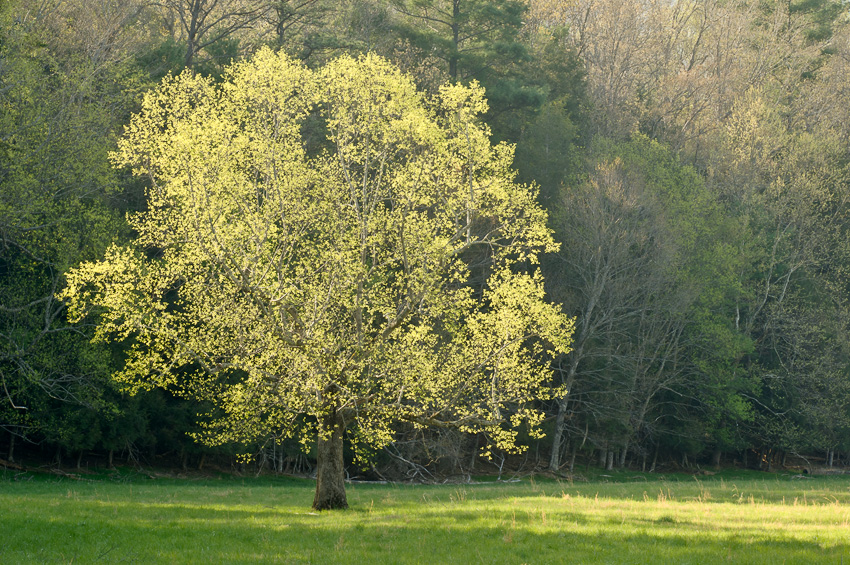 Spring Tree in Cades Cove in the Smokies.