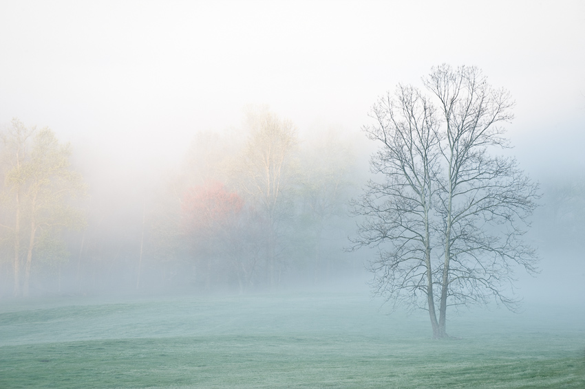 Spring Tree in Fog in Cades Cove in the Smokies.