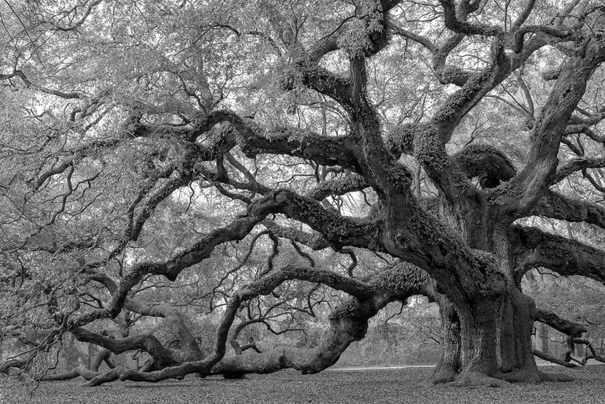 Angel Oak, Johns Island, SC. (ZEISS Otus 55mm f/1.4 on Nikon D810.)