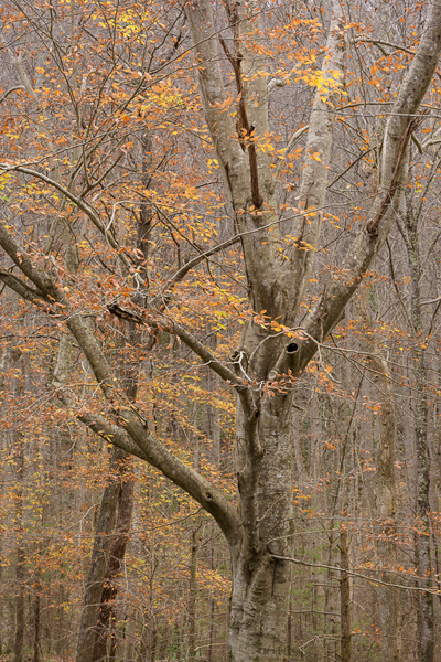 American Beech Tree, Tremont Road, Fall, Smokies. (ZEISS Otus 85mm f/1.4 on Nikon D810.)