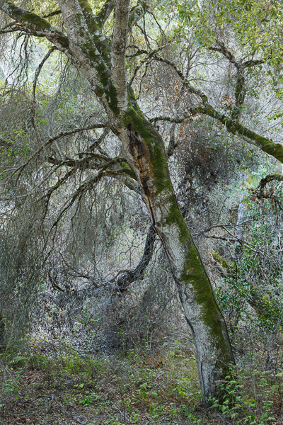 Mossy Tree, Carmel Valley, CA. (Nikon 24-70mm f/2.8 on Nikon D810.)